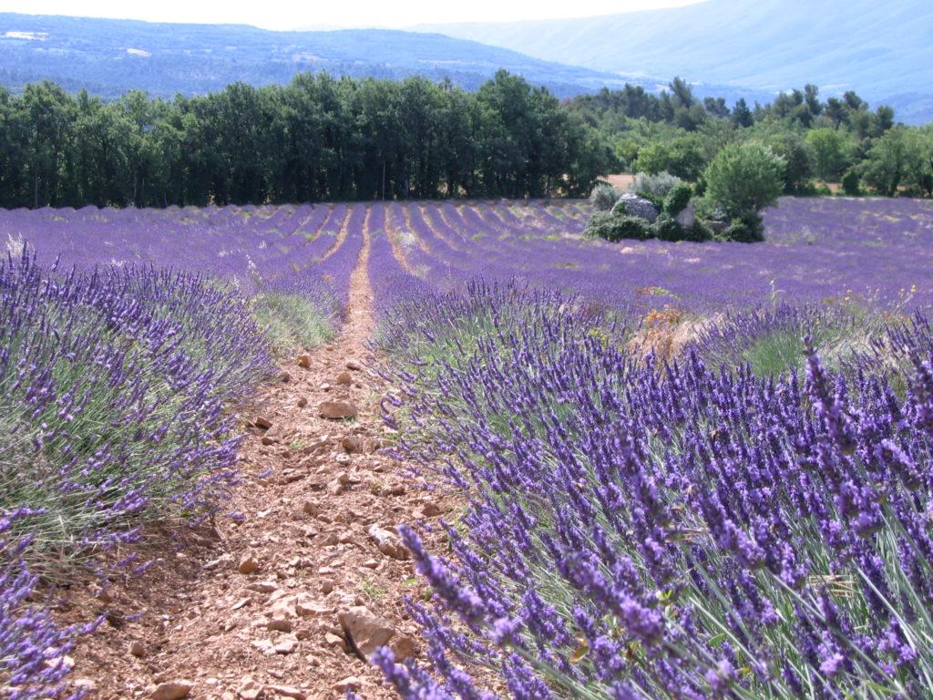 les champs de lavande en fleurs dans le luberon